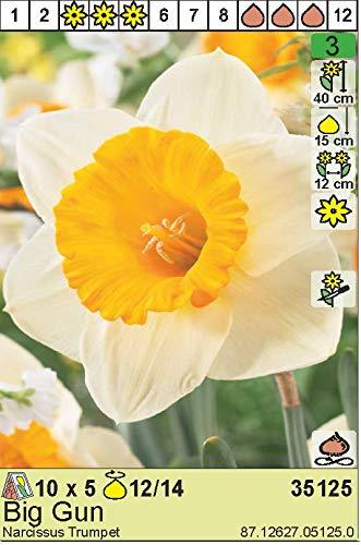 """ANGEBOT : Narcissus – Narzisse/Osterglocke"""" Big Gun"""" (10 Blumenzwiebeln)"""