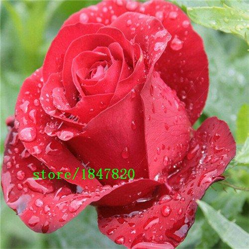 100 Rose Seeds 9 Packs Chaque couleur 100 Graines -DIY SeedsAndPlants Jardinage Pot Balcon & Jardin Parfumé Fleur Plante Bonsai Décoration