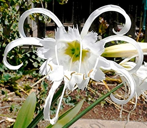 GARTHWAITE NURSERIES® : - 3 Hymenocallis Festalis Peruvian Daffodil Garden Summer Perennial