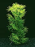 Wasserfeder - Wasserprimel / Hottonia palustris