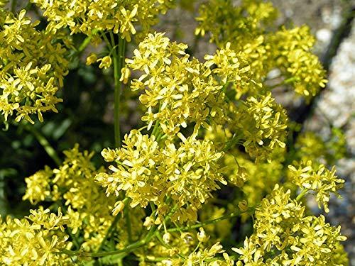 PLAT FIRM Germinazione I semi PLATFIRM-Acer rubrum ottobre Glory Albero di acero rosso semi!