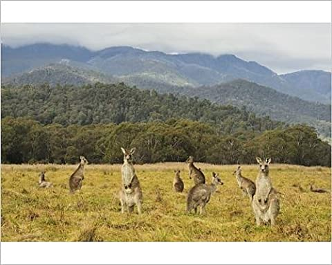 Photographic Print of Eastern grey kangaroos, Geehi, Kosciuszko National Park, New South Wales