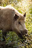 An Intense Wild Boar Sus scrofa Animal Journal: 150 Page Lined Notebook/Diary