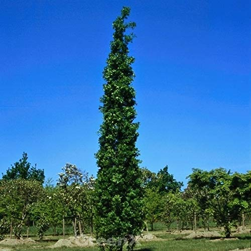 Säulen Eiche Koster 40-60cm – Quercus robur Fastigiata
