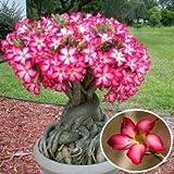 1Stück rot Desert Rose Blume Samen Garten Wüstenrose Sukkulente Topfpflanzen