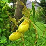 Cypripedium pubescens - Behaarter Frauenschuh