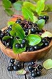 Palmenmann Vitaminbeere (Apfelbeere) Aronia Nero - Aronia melanocarpa Nero