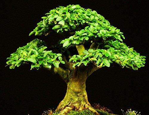 1000 Samen Ligustrum vulgare, Liguster, einfach als Bonsai zu kultivieren