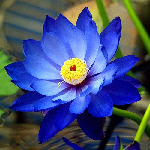Lotus Blume, Samen (Bonsai Lotus / Wasser Lily Blume Bowl-Pond 5 Frische Samen / Saphir Lotus)
