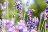 4 Stück Echter Lavendel im 0,5l Topf Winterhart für Beet und Balkon Bienenweide - floranza®