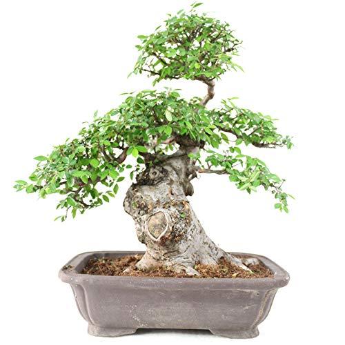 Orme de Chine, Ulmus parvifolia, 29 ans, hauteur 40 cm