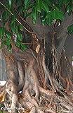 Ficus religiosa - bonsaï arbre de Bodhi - 100 graines