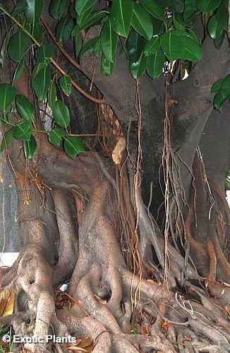 tropica-bonsai-arbol-bo-bodhi-ficus-religiosa-200-semillas