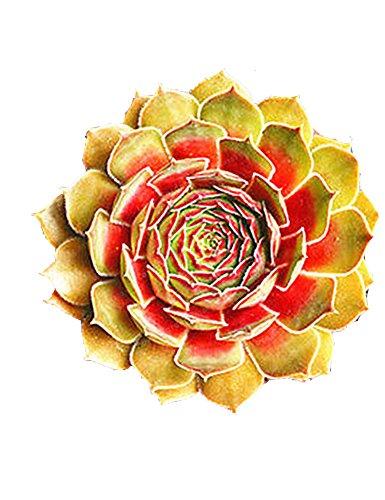 ZEARO 100 Pieces Guanyin Lotus Graines Fleurs Adorable parfumées Graines parfumées