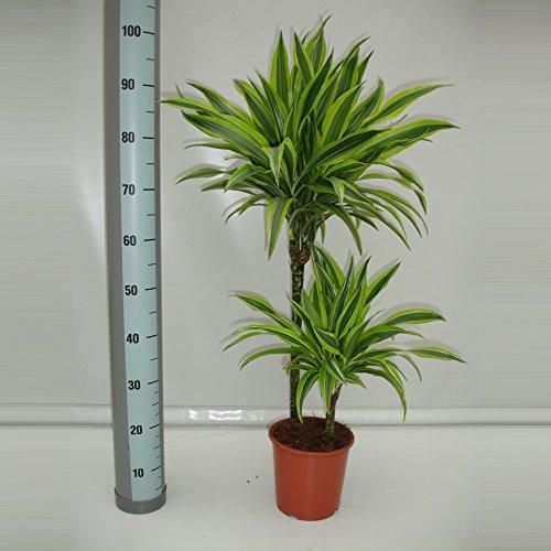 Drachenbaum (Dracaena), 2 Stämme im Topf, ca. 80cm hoch, pflegeleichte Zimmerpflanze (Sorte: Lemon Lime, gelb grünes Laub)