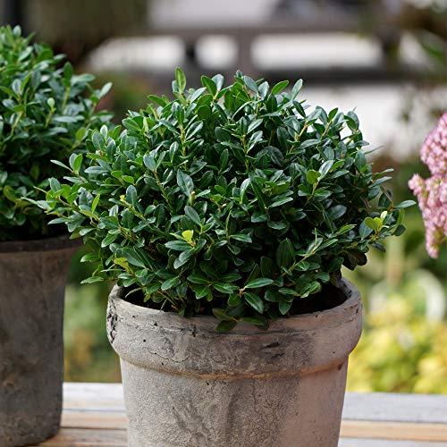 "Saxifraga /""MIXTE/"" Alpine rocaille vivace PLUG plantes Pack x6"