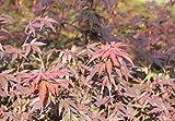 Acer palmatum Bloodgood (Roter Fächerahorn Bloodgood) 60-80cm / 5l-Container (Laubgehölze)
