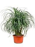 Elefantenfuß 80-100 cm im 40 cm Topf pflegeleichte Zimmerpflanze sonniger Standort Beaucarnea recurvata 1 Pflanze