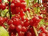 Portal Cool 2 Rare Essbare Pflanzen Japanische Silverberry Elaeagnus umbellata Baum Strauch Fragrant