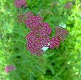 Schafgarbe (Achillea millefolium
