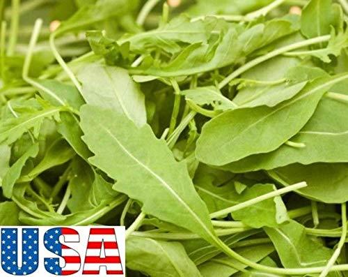 PLAT FIRM GRAINES DE GERMINATION: 8000 graines: USA SELLER Roquette Arugula 1000-8000 graines HEIRLOOM NON OGM