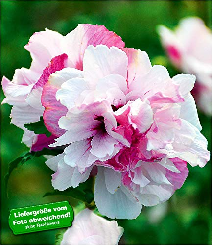 """BALDUR-Garten Freiland-Hibiskus\""""French Cabaret\"""" Pastel, 1 Pflanze Hibiscus gefüllte Blüten winterhart"""