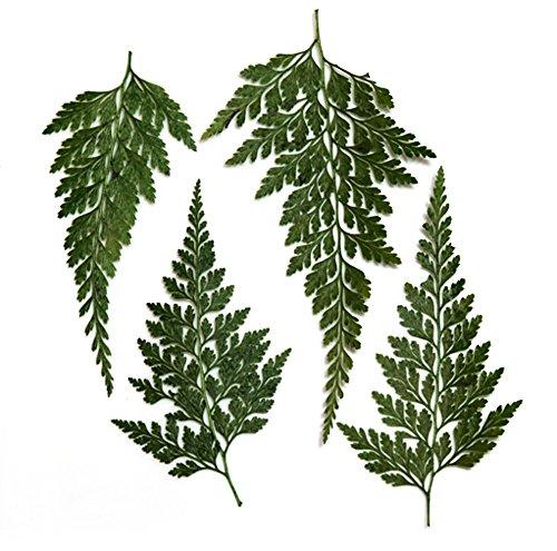 Blätter, asiatischer königlicher Farn 20pcs für Blumenkunst, Handwerk, Kartenherstellung, Scrapbooking ()