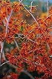 Orange Zaubernuss Aphrodite - Hamamelis intermedia Aphrodite - gelb-orange leuchtend winterblühend - Strauch mit angenehmem Duft - von Garten Schlüter - Pflanzen in Top Qualität