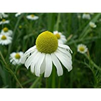 Asklepios-seeds® - 2500 Semillas de Matricaria recutita Manzanilla de Castilla, manzanilla alemana, dulce o cimarrona (Matricaria recutita o Matricaria chamomilla), amargaza