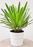 Palmenmann Madagaskarpalme (groß) - Pachypodium lamerei