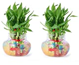#4: Agami Green 2 Layer Lucky Bamboo Indoor plant For Feng Shui With Big Round Glass Pot & Colored Jelly Balls (Pack of 2)