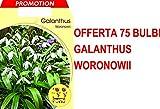 OFFERTA 75 BULBI GALANTHUS WORONOWII BULBS BULBES