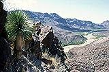 Blaue Yucca Palme -yucca rostrata- 10 Samen -Winterhart-