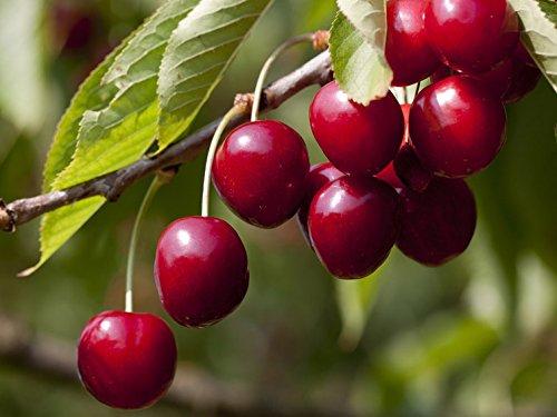 Fruchtbengel, Süßkirsche Sylvia, Prunus avium, ertragreich, saftig-süß, groß