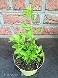 Goji Beere Lycium barbarum Obst Pflanze 3stk.