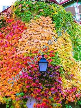 100 pc / sacchetto 5 colori verde Boston edera Semi di edera erba seme per DIY casa e giardino esterno piante arboree Seeds il trasporto di goccia