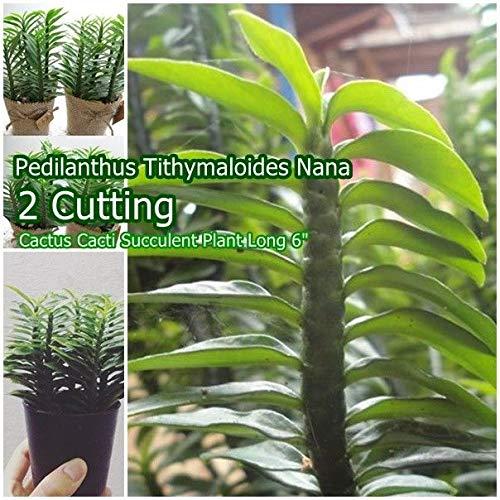"PLAT FIRM GERMINATIONSAMEN: 2 Pedilanthus tithymaloides 'Nana' Cutting Kaktus Cacti Sukkulente Lange 6"""