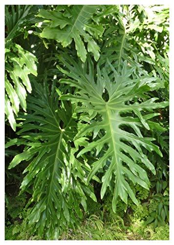 TROPICA - Philodendron/Baumfreund (Philodendron bipinnatifidum) - 10 Samen