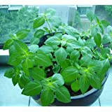 Paquete de 5 250 Semillas Semillas Semillas Catnip planta herbácea Nepeta Cataria Cavacrol aromático caliente D041