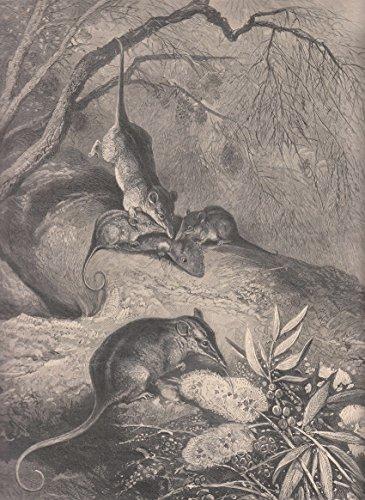Tiere - Der Rüsselbeutler oder Honigbeutler. Ansicht einer Gruppe von Tieren. 3 Tiere fressen einen Schmetterling, das Vierte leckt mit seiner langen Zunge Pollen und Nektar aus einer Pflanze. [Grafik]