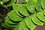 """Zimmerpflanze - für Wohnraum oder Büro - Zamioculcas Zamiifolia, 70 cm hoch - auch als """"Glücksfeder"""" bezeichnet -"""