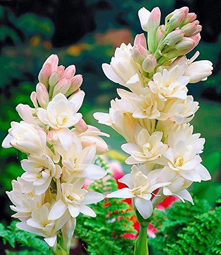 MEIGUISHA Gartensamen-Reiches Aroma Duft-Tuberose The Pearl Polianthes tuberosa Mischung Blüten Saatgut Blumensamen mehrjährig winterhart für Bauerngarten (50,Weiß) Reich Pearl