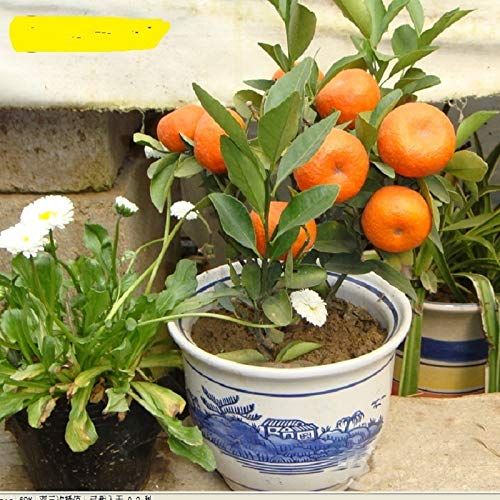AGROBITS 10pcs Balcon Patio Potted Arbres fruitiers plantés bonsaïs Kumquat bonsaïs orange mandarine bonsaïs Citrus
