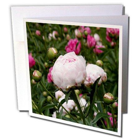 3drose Pale Pink und Hot Pink Peonies–Grußkarten, 15,2x 15,2cm, Set 12(GC 22421_ - Pink Geburtstag Einladungen Hot