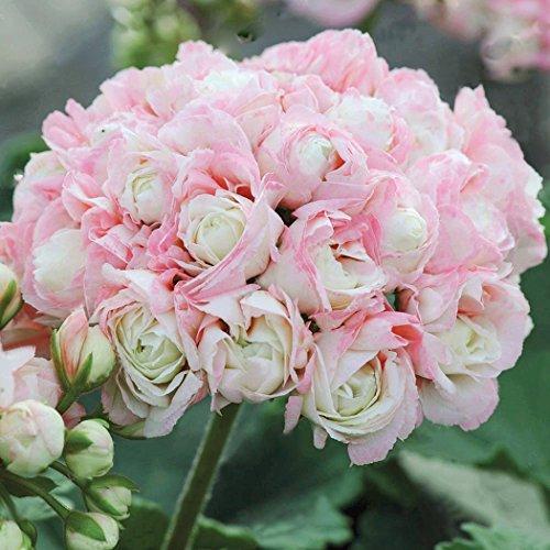 Yukio Samenhaus - 10 Stück England Stehende Geranie \'Appleblossom\' Samen, Balkon-Geranie mit Traumblüten, Hit in Balkonkästen, Kübeln und Beeten (weiß)