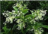 Las semillas de flor de Bonsai de floración de noche jazmín semillas de plantas en maceta Cestrum Nocturnum sombra fragante arbusto envío 30pcs W036
