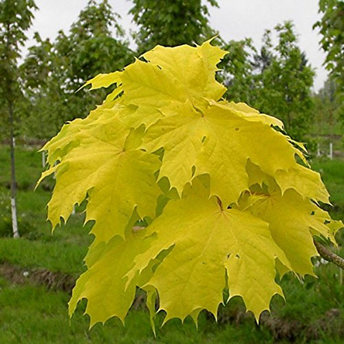 Generic Generische Norwegen Ahorn Samen Gold Leaf Garten Street Park Pflanzensamen-10 pcs Norwegen-pc