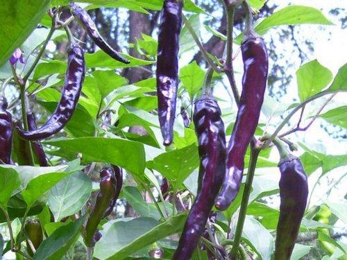 chili-scharf-cayenne-purple-20-samen