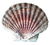 Pilgermuschel ab 8 cm bis ca 18 cm Durchmesser / Pilgerreise / Jakobsweg / Muscheldekoration