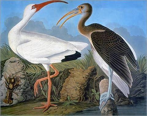Holzbild 60 x 50 cm: Audubon: Ibis. von John James Audubon / Granger Collection